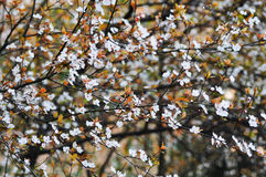 Plum flowers. The flowers of red leaf plum was blooming in springtime with sunshine Stock Image