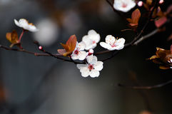 Plum flowers. The flowers of red leaf plum was blooming in springtime with sunshine Stock Photography
