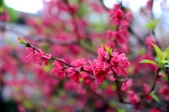 Plum Flowers. During Spring in Japan Royalty Free Stock Photo