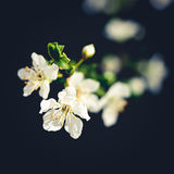 Plum flowers. In the springtime with black background in the sun Stock Images