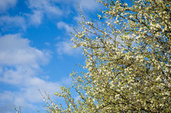Plum flowers. Plum tree flowers on a barely green branch with a blue cloudy sky looking like a tree versus sky scene Royalty Free Stock Photos