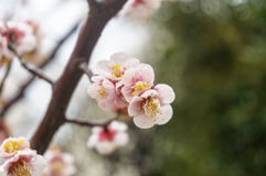 Plum flowers wet with rain. Stock Photography