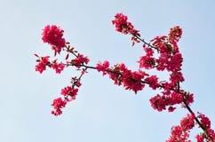 Plum Flowers y cielo azul Imágenes de archivo libres de regalías