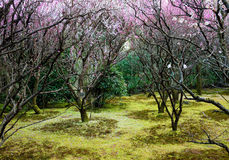 Plum forest. In ryoanji temple, Kyoto ,japan Royalty Free Stock Image