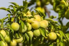 Plum. Fresh plum fruits on plum tree in Jijel, Algeria royalty free stock photo