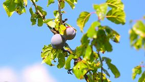 Plum fruit on a branch with green leaves,. Swaying in the breeze, against a blue sky stock video