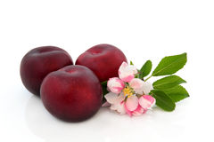 Plum Fruit and Flower Blossom. Plum fruit with flower blossom over white background, Victoria variety royalty free stock photos