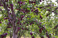 Plum fruit garden in summer. Plum fruit garden in sunny summer day Stock Image