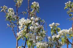 Plum Fruit Tree Foto de archivo libre de regalías