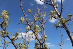 Plum Fruit Tree Imagen de archivo