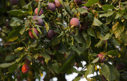 Plum fruit on a tree branch Royalty Free Stock Image
