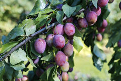 Plum fruits on the branch in autumn Stock Photo