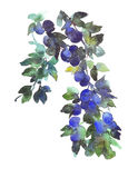 Plum fruits and leaves on tree branch watercolour illustration Stock Photography