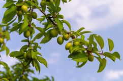 Plum fruits on a tree branch with leaves against a blue sky. Close-up royalty free stock photos