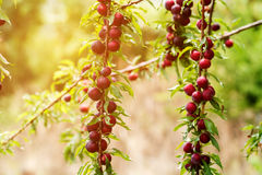 Plum fruits on tree Royalty Free Stock Photography