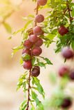 Plum fruits on tree Stock Images