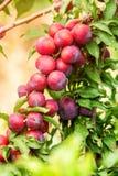 Plum fruits on tree Stock Image