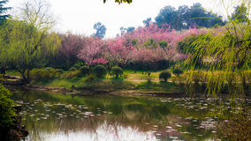 Plum Garden Royalty Free Stock Image