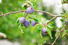 Plum in the garden. In France Royalty Free Stock Photos