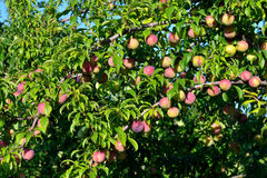 Plum garden Royalty Free Stock Images