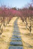 Plum garden Royalty Free Stock Image