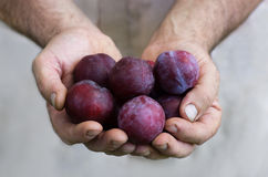 Plum gifts Stock Image