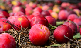 Plum on the ground Royalty Free Stock Images