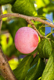 Plum growing on tree. Plum growing on a tree in a private garden Royalty Free Stock Image