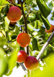 Plum growing on tree. Plum growing on a tree in a private garden Stock Photo