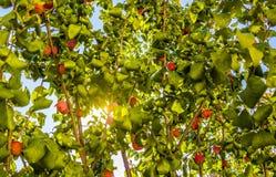 Plum growing on tree Royalty Free Stock Photos