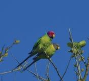 Plum Haded Parakeet Immagine Stock Libera da Diritti