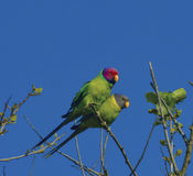Plum Headed Parakeets Royalty Free Stock Image