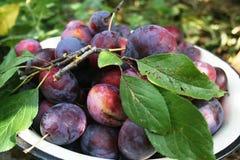 Plum harvest royalty free stock photos