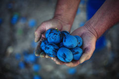 Plum harvest. Farmers hands with freshly harvested plums Stock Image