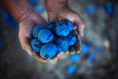 Plum harvest. Farmers hands with freshly harvested plums Royalty Free Stock Image