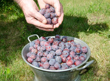Plum harvest Stock Photo