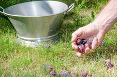Plum harvest Stock Photos