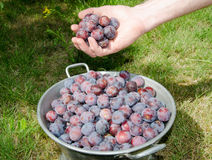 Plum harvest Stock Images