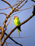 Plum Headed Parakeet Fotografia Stock