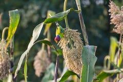 Plum headed Parakeet on Sorghum. Plum headed Parakeet feeding on Sorghum Grains in the Field Royalty Free Stock Image