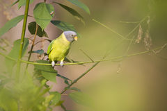 Plum-headed parakeet female in Nepal Stock Photography