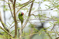 Plum-headed Parakeet Royalty Free Stock Photos