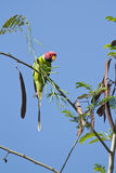 Plum-headed parakeet in Nepal Royalty Free Stock Images