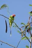 Plum-headed parakeet in Nepal Royalty Free Stock Images