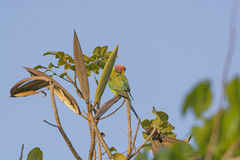 Plum-headed Parakeet in a tree Royalty Free Stock Image