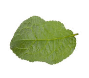 Plum leaf Stock Image