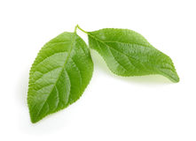 Plum leaf isolated with shadow Royalty Free Stock Photos