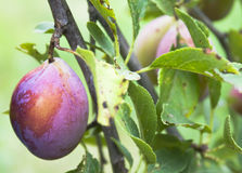Plum with leafs. In backyard garden Royalty Free Stock Images