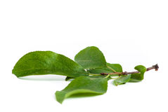 Plum leaves brunch Stock Image