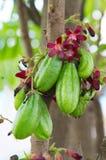 Plum Mango (Averrhoa-bilimbi L ) Royalty-vrije Stock Afbeeldingen